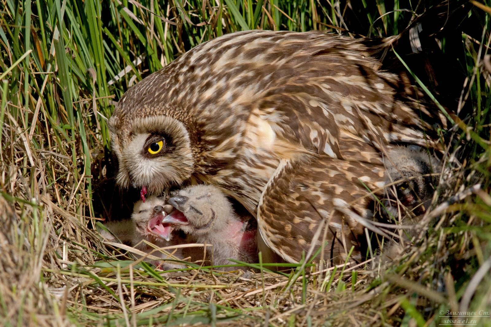 фото болотная сова